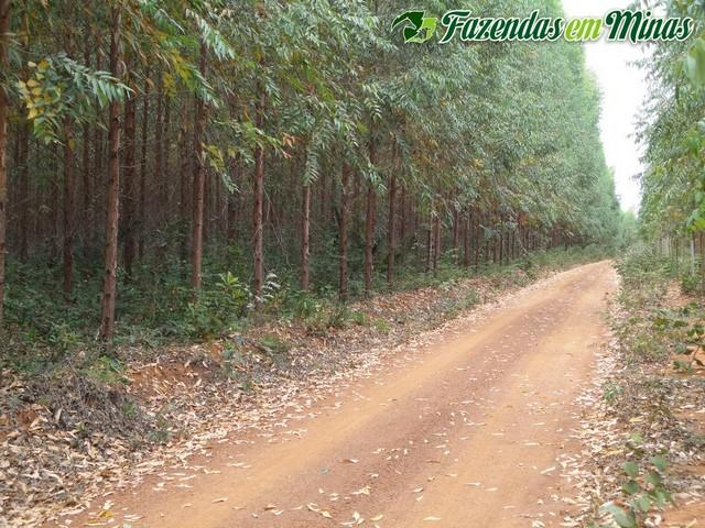 Áreas grandes com eucalipto plantado.