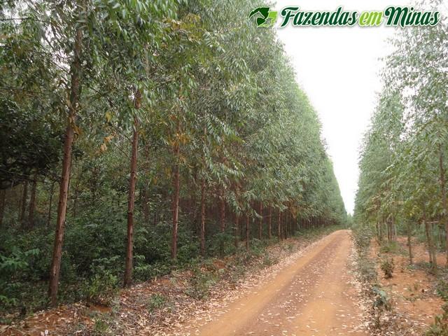 Fazenda para eucalipto e pecuária